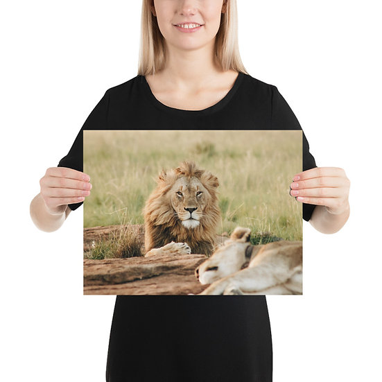 """Looking straight at you"" - Lion Print"
