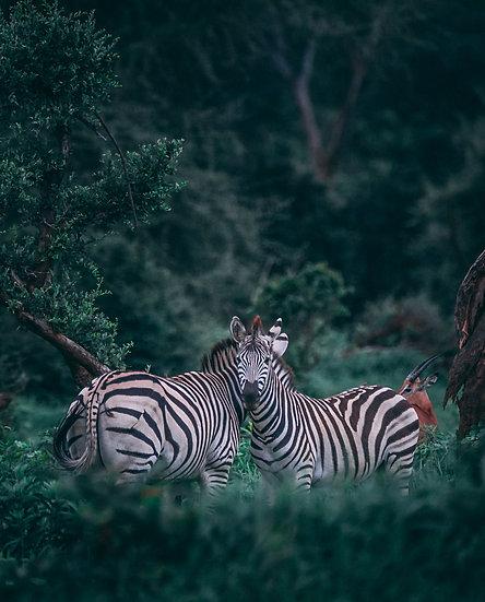 """""""Two"""" - Zebras Print"""