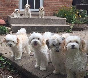 Havanese Pups