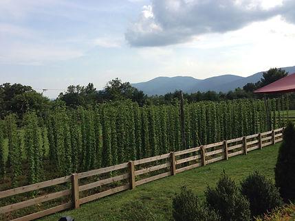 Blue Mountain Brewery hops.jpg