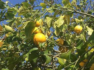 SANUKA: Zitronenbaum auf der Lazy Finca