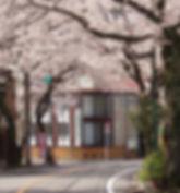gakkousakura.jpg