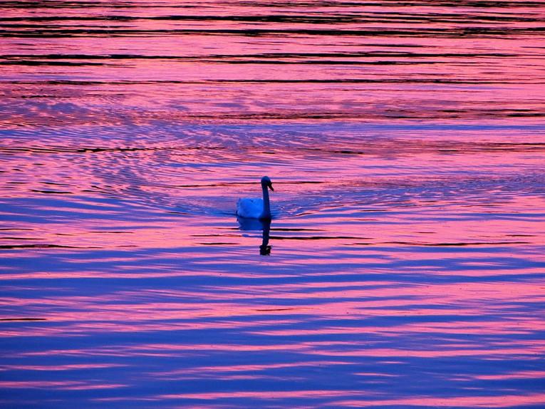 Swan-for Web.JPG