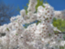 White blossom joy.jpg