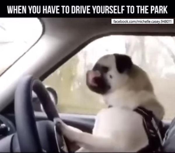 Dog driving.JPG