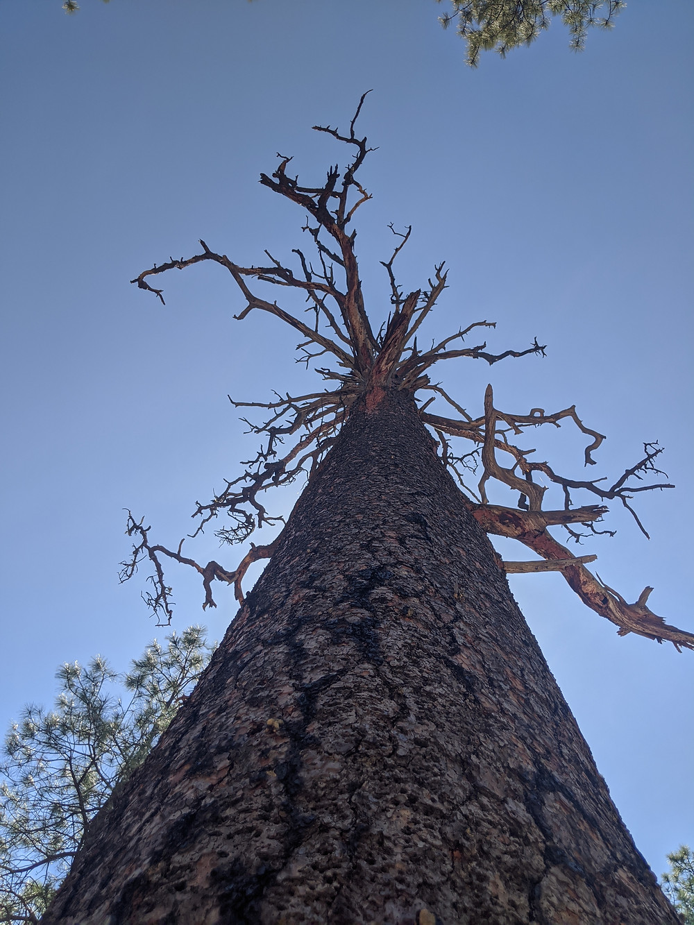 perspective of a large tree standing up, looking at it from the ground up with blue skies behind