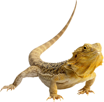 lizard_PNG3.png