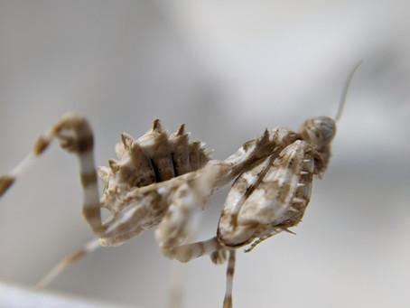Caring for the Thistle Mantis, Blepharopsis mendica