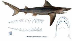 The rarest shark on Earth, the Ganges River Shark