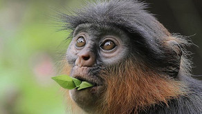 Critically endangered in West and Central Africa