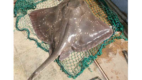 """The not so """"Common Skate"""": a charismatic species under threat"""