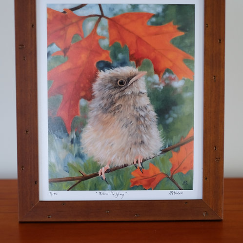 Robin fledgling - limited edition giclee print