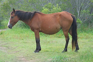 horse-pregnant-brown-mare.jpg