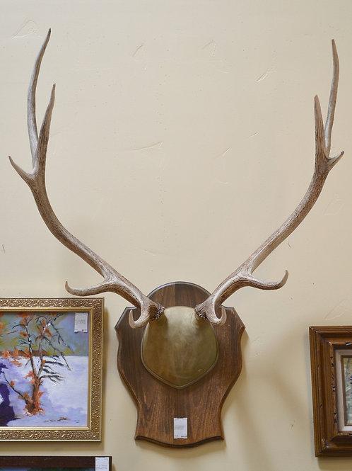 Vintage professionally mounted Pacific Northwest elk antlers