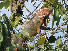 Lizard fun in Manuel Antonio National Park, Tours Manuel Antonio, Tours Quepos, Tours, Tours Costa Rica, ADventure Costa Rica, Ziplining, Park Guide, Manuel Antonio National Park, Manuel Antonio, Hotel