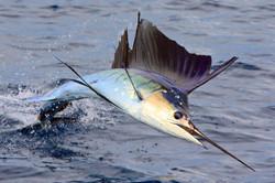 Fishing for sailfish Quepos