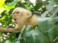 monkeys found at manuel antonio national park, Tours Manuel Antonio, Tours Quepos, Tours, Tours Costa Rica, ADventure Costa Rica, Ziplining, Park Guide, Manuel Antonio National Park, Manuel Antonio, Hotel
