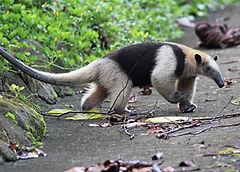 Ant Eater in Manuel Antonio National Park, Tours Manuel Antonio, Tours Quepos, Tours, Tours Costa Rica, ADventure Costa Rica, Ziplining, Park Guide, Manuel Antonio National Park, Manuel Antonio, Hotel