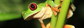 Tree frog found in Manuel Antonio Nationa Park, Tours Manuel Antonio, Tours Quepos, Tours, Tours Costa Rica, ADventure Costa Rica, Ziplining, Park Guide, Manuel Antonio National Park, Manuel Antonio, Hotel