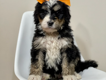 Bernedoodles in Illinois