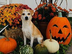 Pumpkin-dog.jpeg