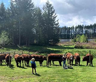 smith lake farm cattle