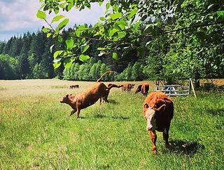 angus beef at smith lake farm