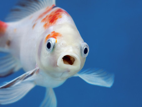 Why did the fish blush?
