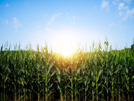 Why shouldn't you tell secrets in a cornfield?