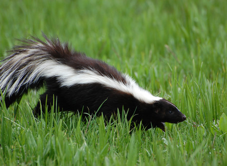 What did the judge say when a skunk walked into the courtroom?