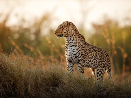 Why couldn't the leopard play hide and seek?
