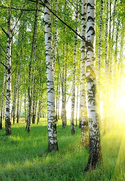 bigstock-Birch-Trees-6572639.jpg