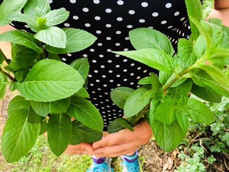 Peppermint Harvest