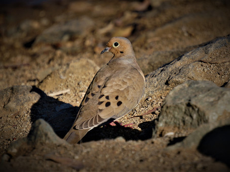 Track and Sign: Mourning Dove, the one bird everyone needs to know.