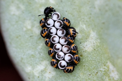 Harlequin Bugs emerge from eggs