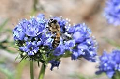 Blue Pollen