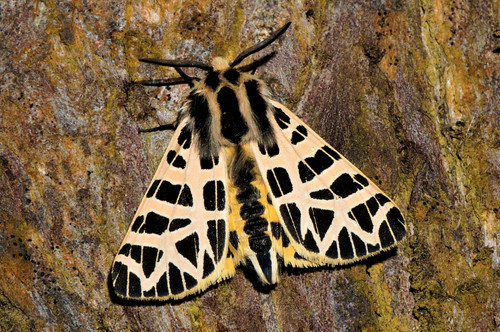Ornate Tiger Moth