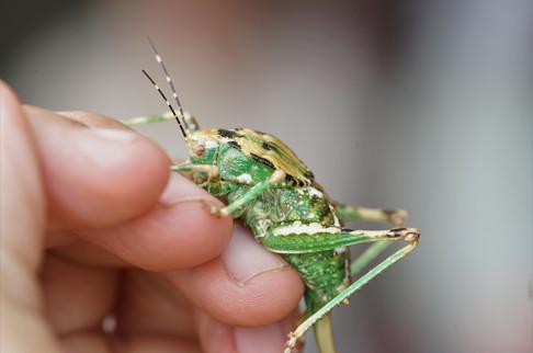 Ovate Shield Bug