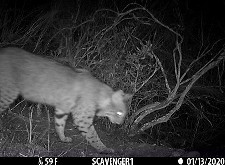 Bobcats of Rose Canyon