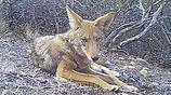 Coyote lays in front of camera crop.jpg