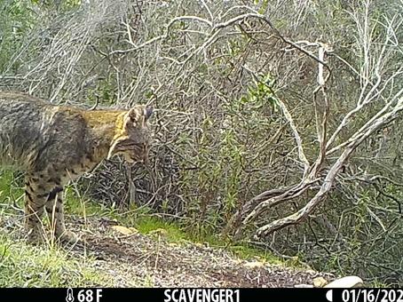 The bobcats of Rose Canyon