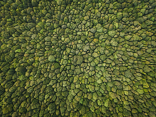 Bali Broccoli