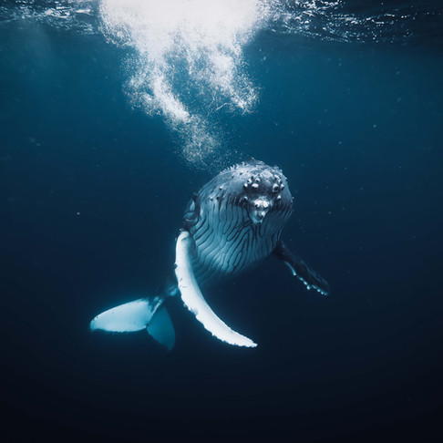 Tonga: Freediving With Humpbacks
