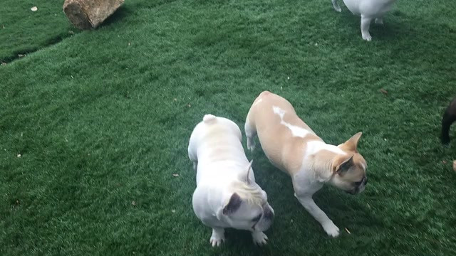 THIS IS THE FRENCHIE YARD AREA