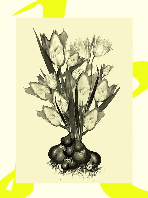 tulpen mini-abonnement