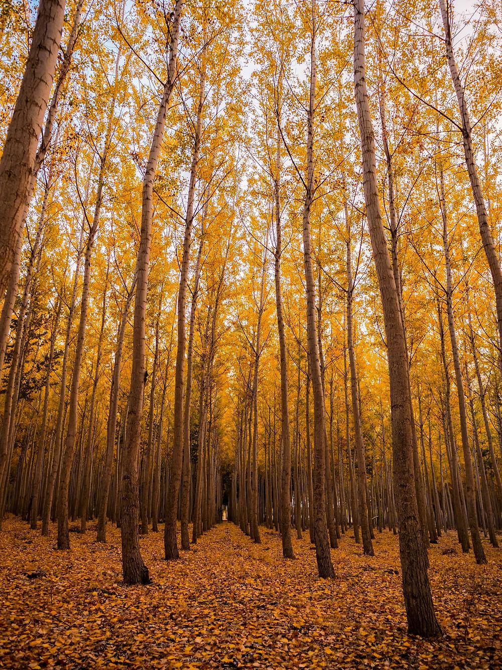 Autumnal trees at Boardman Tree Farm