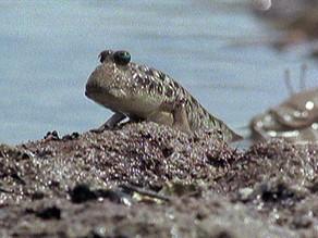 MUDSKIPPER : A fish that can walk on land , strange evolution