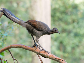 Lyre bird : The Bird That Does Unbelievable Impressions of Chainsaws, Car Alarms