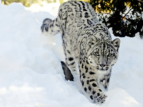one of the most rarest animals ' Snow leopard ' and facts related to it