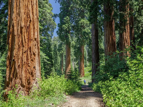 THE LARGEST AND LONGEST TREES IN THE WORLD SEQUOIA AND REDWOOD